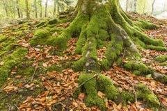 Closeupdetaljen av mu och trädet rotar i skogen Royaltyfri Foto