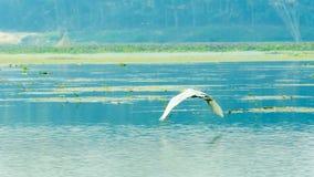 Closeupen av album för en ägretthägerhägerArdea, gemensam art av den mjölkaktiga fågeln för vitt vatten som smyckas med sämskskin royaltyfri fotografi