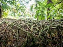 Closeupen av banyanträdet rotar arkivfoto