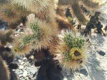 Closeupen av chollakaktuns med blomning slår ut i Joshua Tree National Park arkivfoto