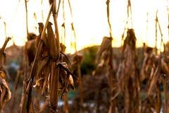 Closeupen av döda torkar havreväxter på solnedgången under vintersäsong Royaltyfria Bilder