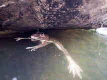Closeupen av den asiatiska flodgrodan (den Limnonectes blythiien) svävar på vattnet Arkivfoton