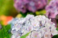 Closeupen av den gr?na vanlig hortensiavanlig hortensiamacrophyllaen ?r blommande i v?r och sommar p? en stadtr?dg?rd Den japansk royaltyfri bild