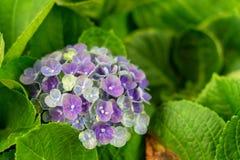 Closeupen av den gr?na vanlig hortensiavanlig hortensiamacrophyllaen ?r blommande i v?r och sommar p? en stadtr?dg?rd Den japansk arkivbild