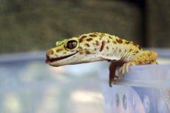 Closeupen av den gula geckon klibbar ut hennes tunga royaltyfria foton