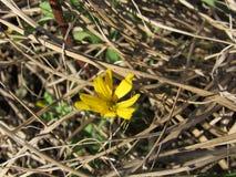 Closeupen av den itty bitty gula vildblomman som sitter på, sörjer sugrör arkivbild