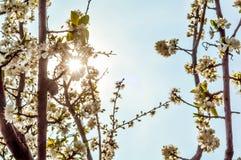 Closeupen av den vita körsbäret blommar på träd i solig vårdag Arkivfoton