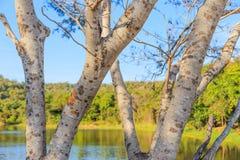 Closeupen av det prickiga skället av träd i tropiskt parkerar med suddig bakgrund för sjön och för skogen royaltyfri fotografi
