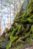 Closeupen av det tilltrasslade trädet rotar dolt med grön mossa Arkivfoton