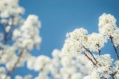 Closeupen av det vita Bradford päronträdet blomstrar i vår Arkivbilder