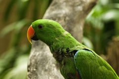 Electus papegojor Arkivfoto