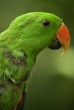 Electus papegojor Arkivfoton