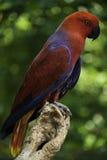 Electus papegojor Royaltyfria Foton