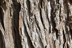 """Closeupen av en brun †för trädskäll """"kan användas som en bakgrund royaltyfria foton"""