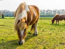 Closeupen av en brunt med den vita flammiga hästen som äter något gräs, ponnyn som betar i, betar arkivbild