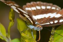 Closeupen av en fjäril synar sätta sig på bladet Arkivfoto
