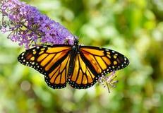 Closeupen av en härlig monarkfjäril med spridning påskyndar royaltyfri fotografi