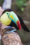 Closeupen av en härlig och färgrik köl fakturerade tukan fotografering för bildbyråer