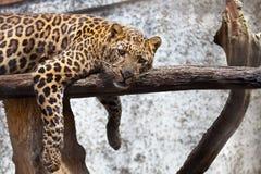 Closeupen av en leopard som vilar på en journal med, tafsar att dingla arkivfoto