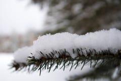 Closeupen av en snö täckte den prydliga trädfilialen Arkivfoto
