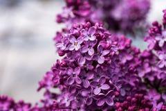 Closeupen av en violett purpurfärgad lila blommar på våren royaltyfri fotografi
