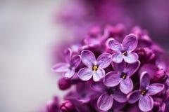 Closeupen av en violett purpurfärgad lila blommar på våren arkivbilder