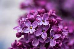 Closeupen av en violett purpurfärgad lila blommar på våren arkivfoto