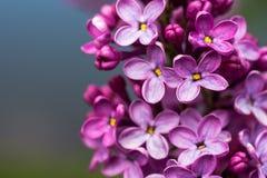 Closeupen av en violett purpurfärgad lila blommar på våren royaltyfria bilder