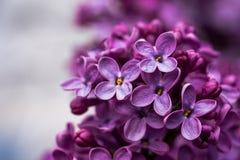 Closeupen av en violett purpurfärgad lila blommar på våren arkivfoton