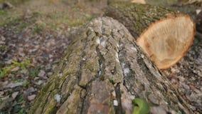 Closeupen av ett lärkträ klippte ner ett stort gammalt träd arkivfilmer