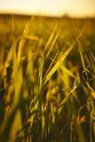 Closeupen av fältet av ungt korn i en solnedgång tillbaka tänder Fotografering för Bildbyråer