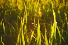 Closeupen av fältet av ungt korn i en solnedgång tillbaka tänder Arkivfoton