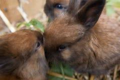 Closeupen av fyra gamla angora- kaninsatser för veckor heads Fotografering för Bildbyråer