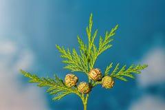 Closeupen av gräsplan fattar av thuja som cypressfamiljen med 4 kärnar ur honom Fotografering för Bildbyråer