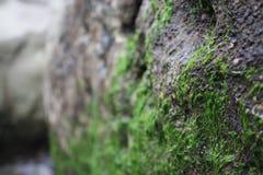 Closeupen av gröna alger som växer på, vaggar på stranden arkivbild