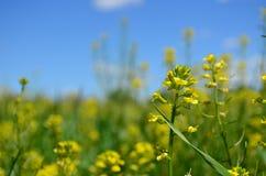 Closeupen av gul canola blommar i vår Royaltyfria Foton