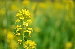Closeupen av gul canola blommar i vår med suddig gul bakgrund Fotografering för Bildbyråer