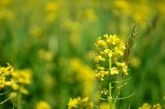 Closeupen av gul canola blommar med suddig guling- och gräsplanbakgrund Fotografering för Bildbyråer