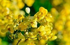 Closeupen av guling blommar på trädet (sennabladsiameaLam) Royaltyfri Bild