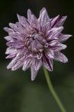 Closeupen av härlig vit och lilor gjorde randig dahliablomman Arkivbild
