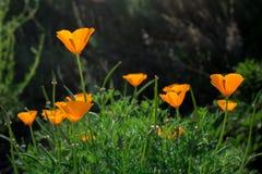 Closeupen av Kalifornien den orange vallmo blommar att blomma i ett grönt fält Royaltyfri Fotografi