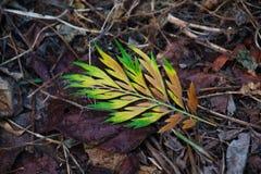 Closeupen av ljust gulnar/det gröna bladet mot mörk bakgrund royaltyfria foton