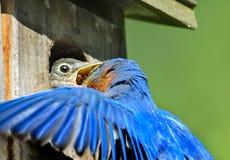 Closeupen av manlig blåsångarematning behandla som ett barn fågeln royaltyfri foto