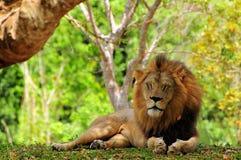 Closeupen av manliga ögon för lejonet (pantheraen leo) stängde sig Royaltyfri Bild