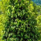 Closeupen av nya gröna sidor pepprar (Piper Nigrum) i Indien, K Fotografering för Bildbyråer