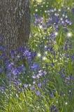 Closeupen av purpurfärgade Camas blommar med att dansa felika ljus Arkivfoto