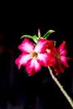 Closeupen av rosa Bigononia eller öknen steg (den tropiska blomman) på bl Arkivfoto