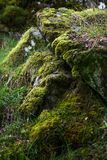 Closeupen av tjock mossa som växer på, vaggar i de skotska högländerna Royaltyfria Foton