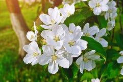 Closeupen av våräpplet blommar i blom - fjädra blom- bakgrund Arkivfoton