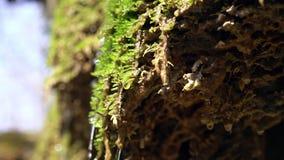 Closeupen av vårvatten som den faller från mossigt vaggar och dribblingar på grön mossa Vattendroppnedgångar som ett silverregn